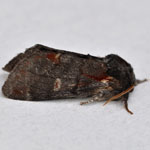 Iron Prominent - Outer Hebrides Moths