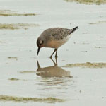 Knot - Outer Hebrides Birds