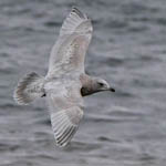 2nd winter Kumlien's Gull