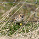 Lapland Bunting, North Uist