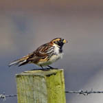 male Lapland Bunting - Outer Hebrides Birds