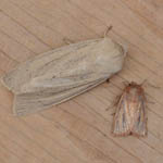Large and Small Wainscot
