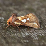 Lempke's Gold Spot - Outer Hebrides Moths