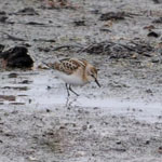 Little Stint - Outer Hebrides Birds