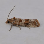 Lobesia littoralis - Outer Hebrides Moths