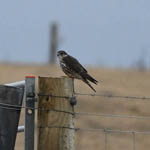 Merlin Outer Hebrides