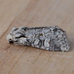 Minor Shoulder-knot - Outer Hebrides Moths
