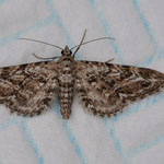 Narrow-winged Pug - Outer Hebrides Moths