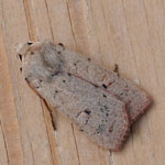 Neglected Rustic - Outer Hebrides Moths