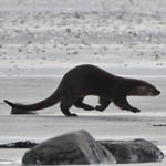 Otter, South Uist