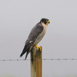 Peregrine Falcon - Outer Hebrides Birds