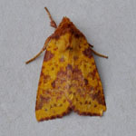 Pink-barred Sallow - Outer Hebrides Moths
