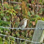 Red-backed Shrike - Outer Hebrides Birds