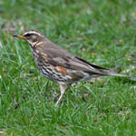 Redwing - Outer Hebrides Birds