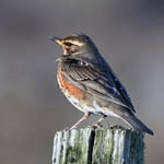 Redwing, Outer Hebrides