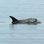 Risso's Dolphin  - Outer Hebrides Mammals