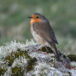 Robin at Ardvule
