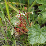 Rue Leaved Saxifrage
