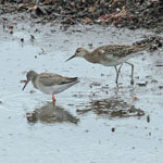 Ruff with Redshank
