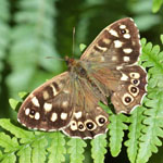 Speckled Wood - Outer Hebrides butterflies