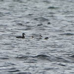 Surf and Common Scoters