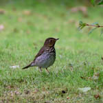 Swainson's Thrush - Outer Hebrides