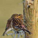 Twite, Berneray