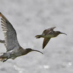 Curlew and Whimbrel
