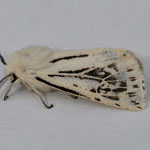 White Ermine of the from ab.godarti - Outer Hebrides Moths