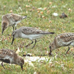 White-rumped Sandpiper - North Uist