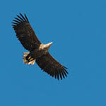 adult White-tailed Eagle