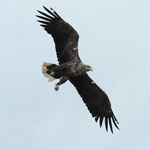 White-tailed Eagle - Outer Hebrides Birds