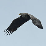 White-tailed Eagle Outer Hebrides bird sightings