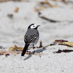 male White Wagtail