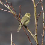 Willow Warbler, South Uist