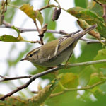 Yellow-browed Warbler - Outer Hebrides Birds
