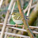Yellow-browed Warbler, Outer Hebrides Birds
